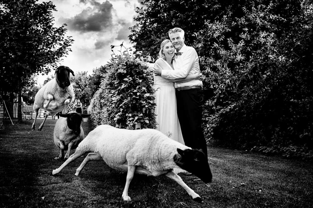 Hochzeit wilde Schafe (Frank Ullmer Hochzeitsfotografie)