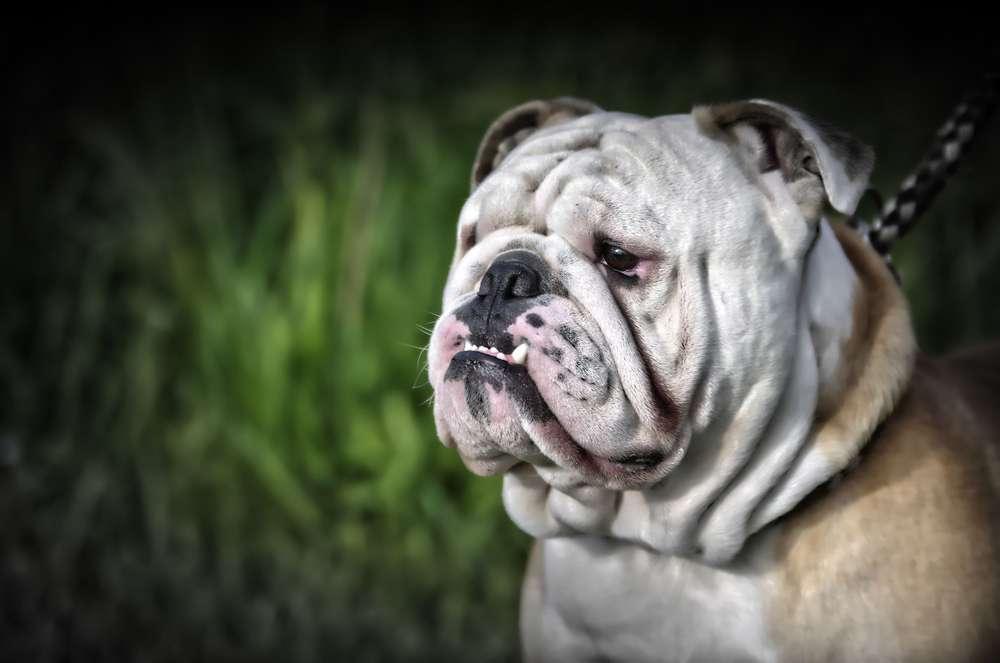 Bulldogge /