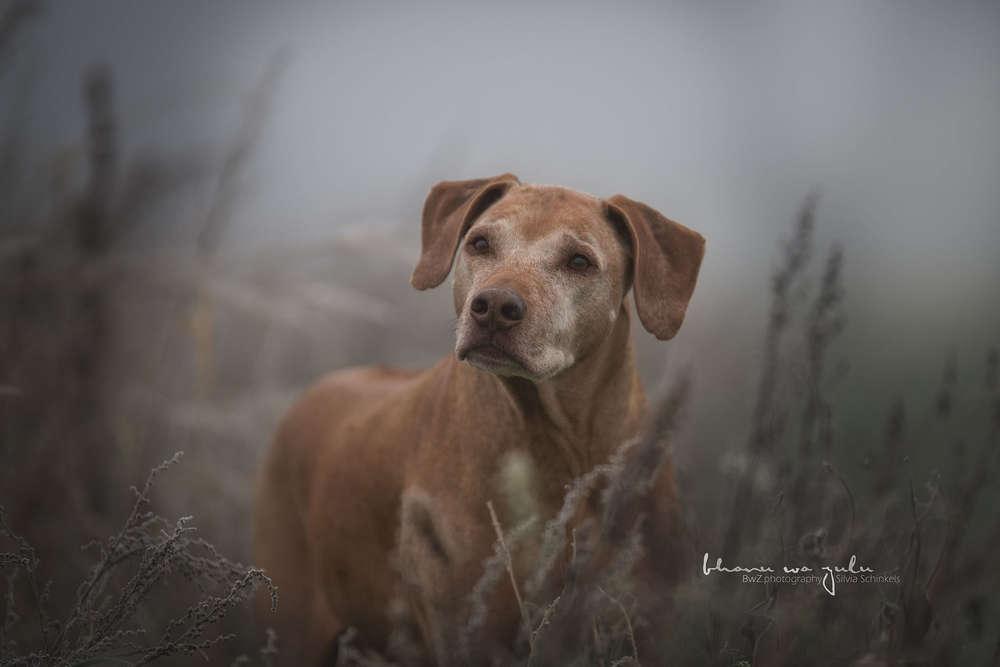 Ridgeback im Nebel / Hundefotografie outdoor