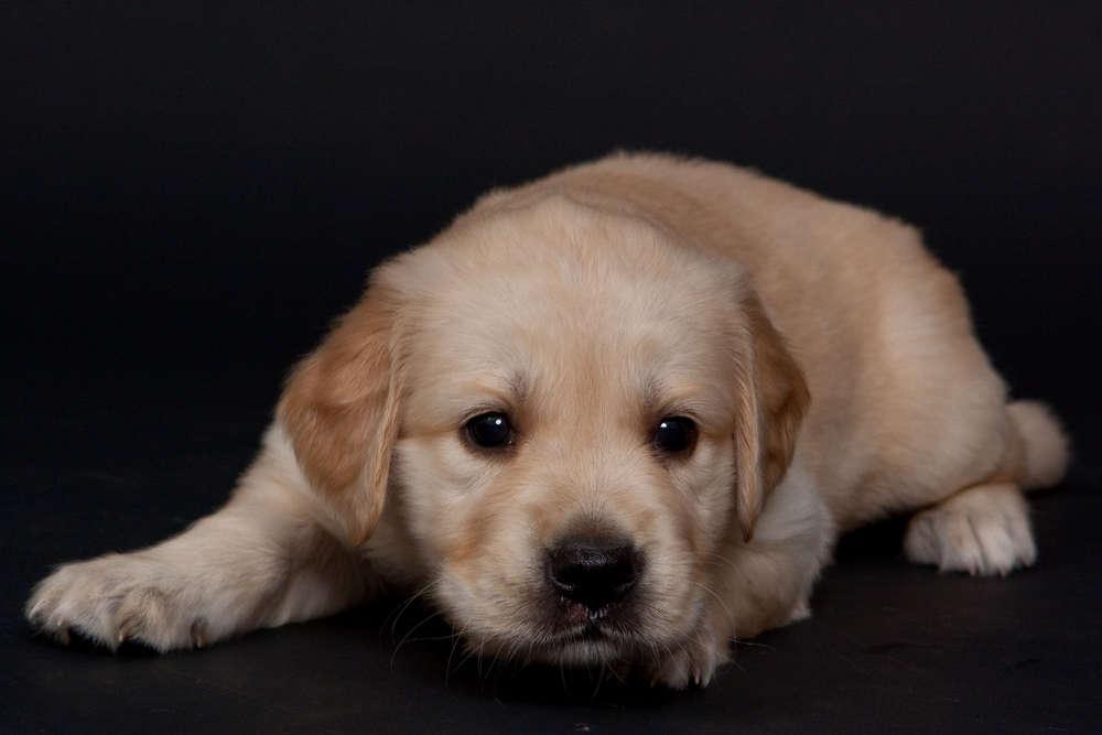 Hundeporträt / Welpen