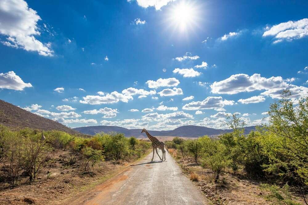 Giraffe Südafrika / aufgenommen im Pilanesberg-Nationalpark / Südafrika (pix123 fotografie - portrait event panorama)