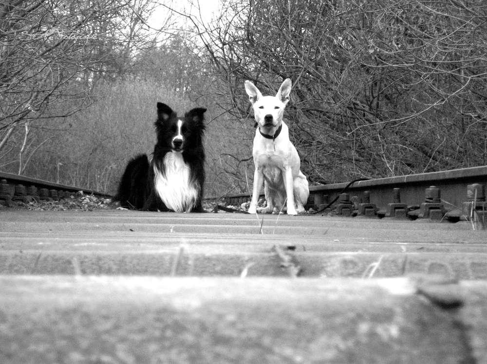 Tiere / 2 Hunde auf bahnschiene