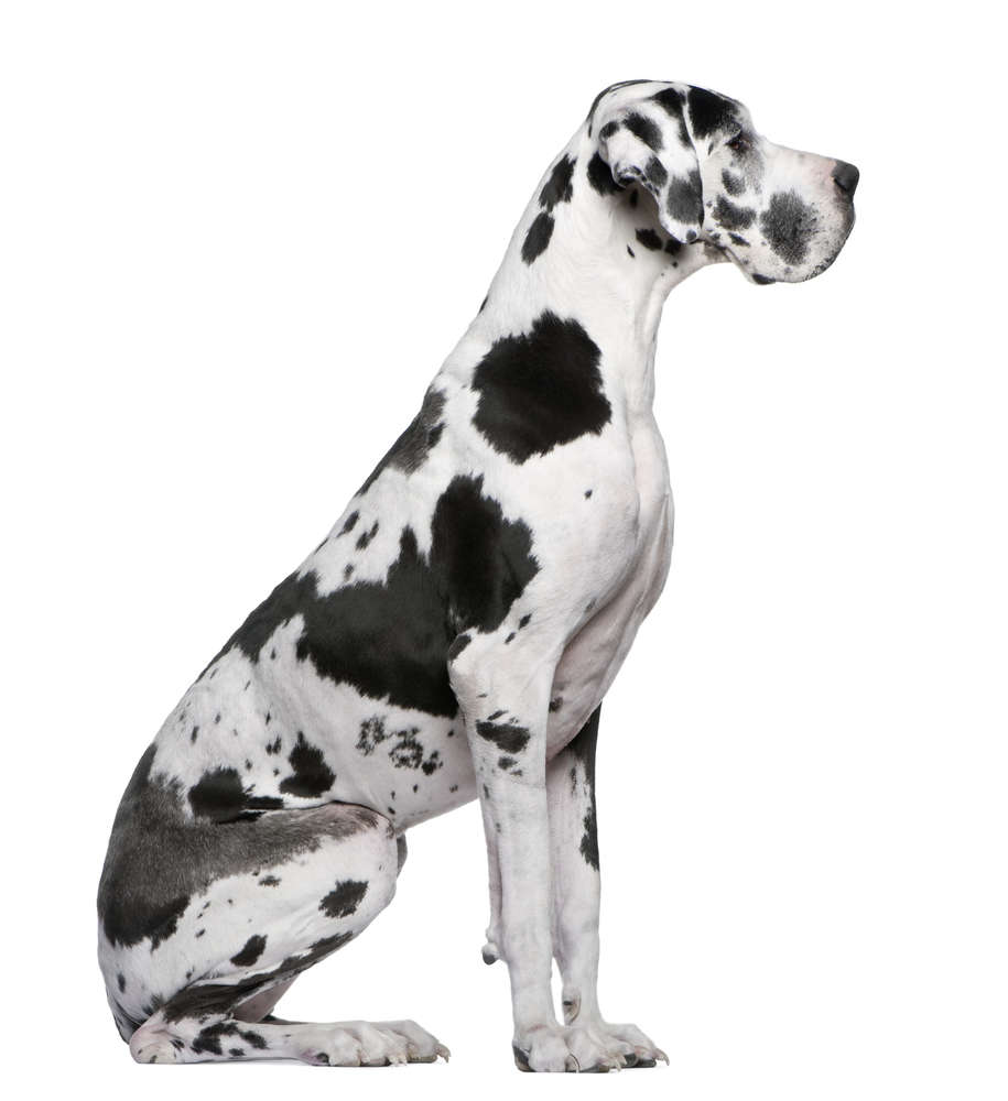 Hunde portrait / Hunde portraits (msd-photography Fotostudio)
