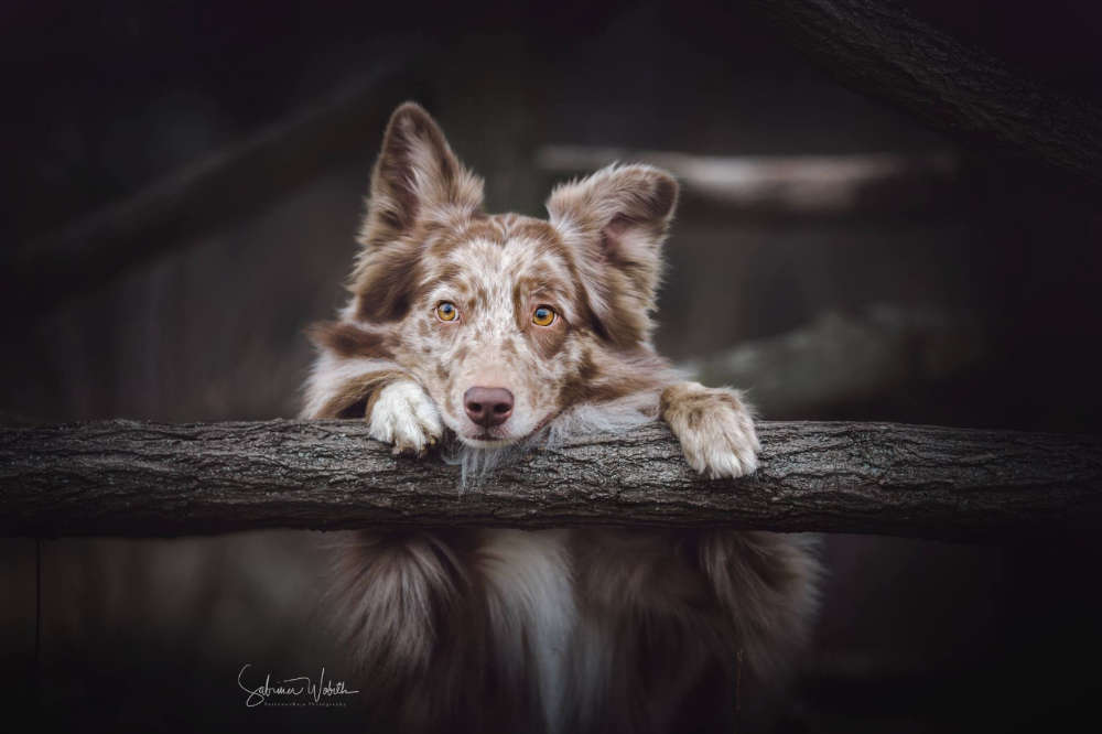 süßeste Versuchung / Milow der Australien Shepherd (Sabrina Wobith Photography - FotosVonMaja)