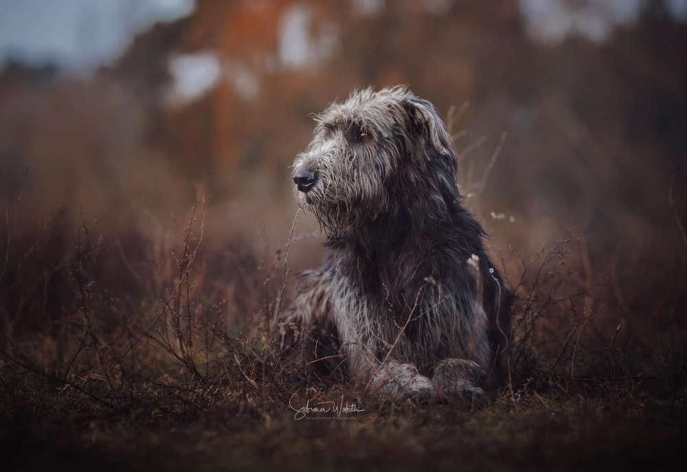 Irisch Wolfig / Irischer Wolfhund ganz entspannt (Sabrina Wobith Photography - FotosVonMaja)